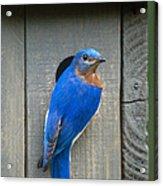 Eastern Bluebird At Nest Acrylic Print