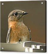 Eastern Bluebird Eye To Eye Acrylic Print