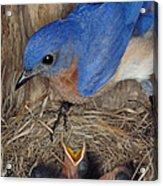 Eastern Bluebird Feeding Its Young Acrylic Print by Millard H. Sharp