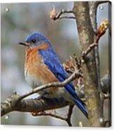 Eastern Bluebird In A Pear Tree Acrylic Print