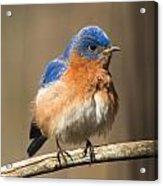 Eastern Bluebird Male Ruffled Acrylic Print