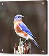 Eastern Bluebird - The Old Fence Post Acrylic Print