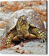 Eastern Box Turtle Acrylic Print