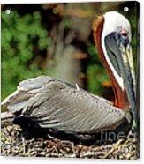 Eastern Brown Pelican Acrylic Print