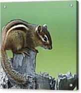 Eastern Chipmunk On Snag North America Acrylic Print