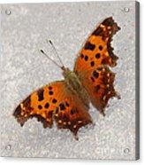 Eastern Comma Butterfly Acrylic Print