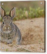 Eastern Cottontail Wyoming Acrylic Print