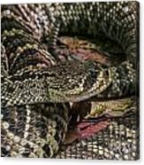Eastern Diamondback Rattlesnake 1 Acrylic Print
