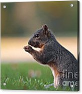 Eastern Fox Squirell Acrylic Print by Brandon Alms