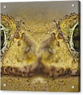 Eastern Giant Toad Acrylic Print