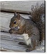 Eastern Gray Squirrel-4 Acrylic Print