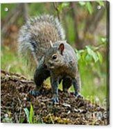 Eastern Gray Squirrel Acrylic Print by Linda Freshwaters Arndt
