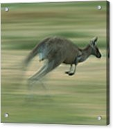 Eastern Grey Kangaroo Female Hopping Acrylic Print