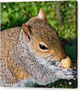 Eastern Grey Squirrel Acrylic Print