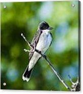 Eastern Kindbird  Acrylic Print