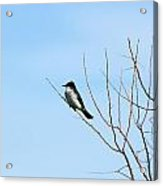 Eastern Kingbird In A Tree Acrylic Print