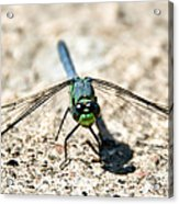 Eastern Pondhawk Front Acrylic Print