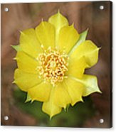 Eastern Prickly Pear Cactus Acrylic Print