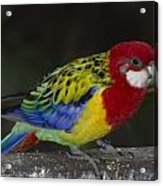 Eastern Rosella Acrylic Print by Gerald Murray Photography
