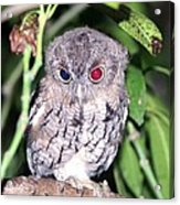 Eastern Screech Owl 2 Acrylic Print