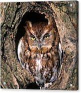 Eastern Screech Owl - Fs000810 Acrylic Print