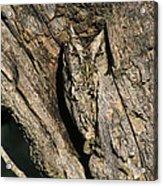 Eastern Screech-owl Otis Asio Wild Texas Acrylic Print