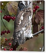 Eastern Screech Owl Red And Gray Phases Acrylic Print