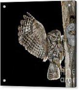 Eastern Screech Owls At Nest Acrylic Print