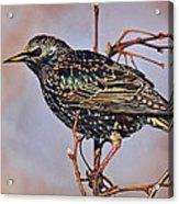 Common Starling Acrylic Print