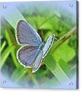 Eastern-tailed Blue Butterfly - Cupido Comyntas Acrylic Print
