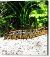 Eastern Tent Caterpillar Acrylic Print
