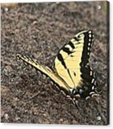 Eastern Tiger Swallowtail 8564 3241 Acrylic Print