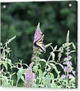 Eastern Tiger Swallowtail Butterfly -  Featured In Wildlife Group Acrylic Print