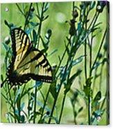 Eastern Tiger Swallowtail Ins 76 Acrylic Print