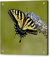 Eastern Tiger Swallowtail On Butterfly Bush Acrylic Print