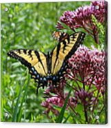 Eastern Tiger Swallowtail On Joe Pye Weed Acrylic Print