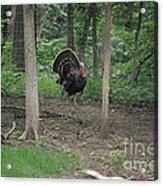 Eastern Tom Turkey Acrylic Print