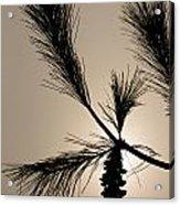 Eastern White Pine Acrylic Print