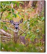 Eastern Whitetail Deer Acrylic Print