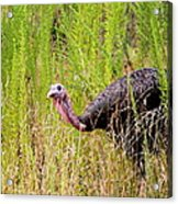 Eastern Wild Turkey - Longbeard Acrylic Print