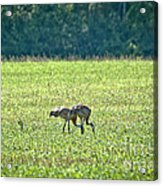 Eating Cranes Acrylic Print