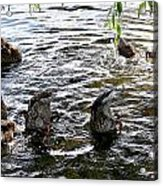 Eating Ducks Acrylic Print