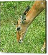 Eating Impala  Acrylic Print
