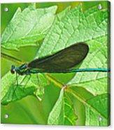 Ebony Jewelwing Damselfly - Calopteryx Maculata Acrylic Print