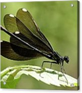 Ebony Jewelwing Fluttering For Male Acrylic Print