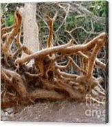 Eccentric Tree Root Growing In Ein Gedi Acrylic Print