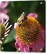 Echinacea And Bee Acrylic Print