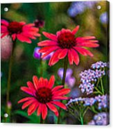 Echinacea And Yarrow Acrylic Print by Omaste Witkowski