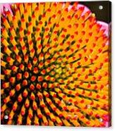 Echinacea Bloom Acrylic Print