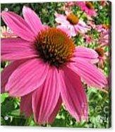 Echinacea Garden Acrylic Print